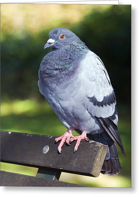 Rock Pigeon Greeting Card by Georgette Douwma