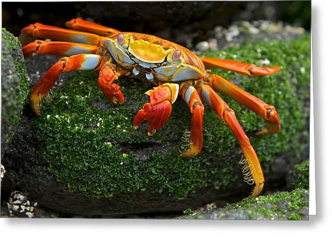 Sally Lightfoot Crab, Grapsus Grapsus Greeting Card by Tim Laman