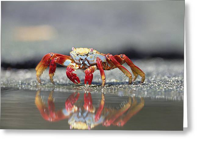 Sally Lightfoot Crab Grapsus Grapsus Greeting Card