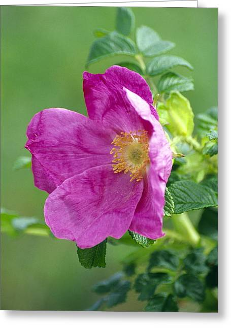 Salt Spray Rose Flower (rosa Rugosa) Greeting Card by Dr. Nick Kurzenko