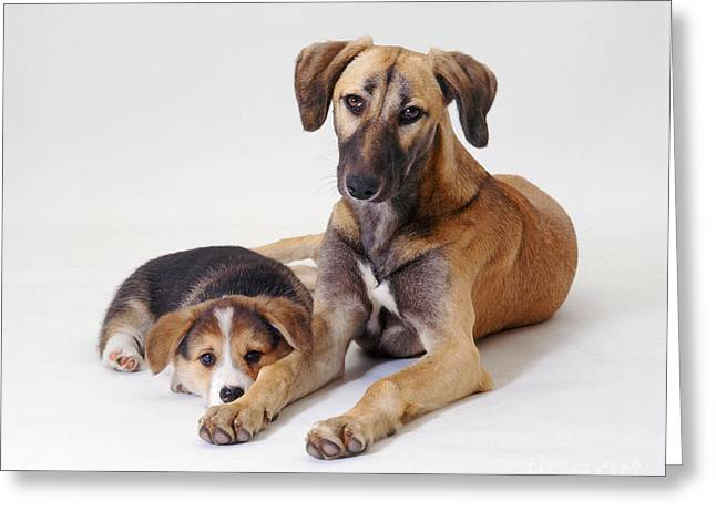 Saluki Lurcher And Welsh Corgi Puppy Greeting Card by Jane Burton