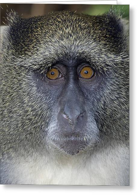 Samango Monkey Greeting Card