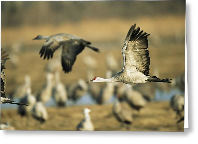 Sandhill Cranes At The Platte River Greeting Card by Joel Sartore