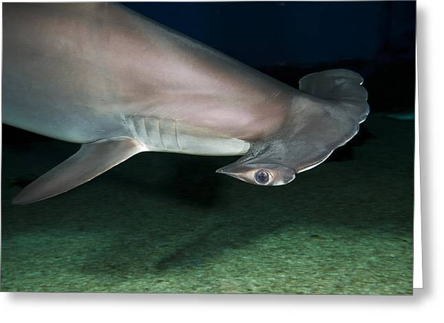 Scalloped Hammerhead Shark Greeting Card by Dave Fleetham