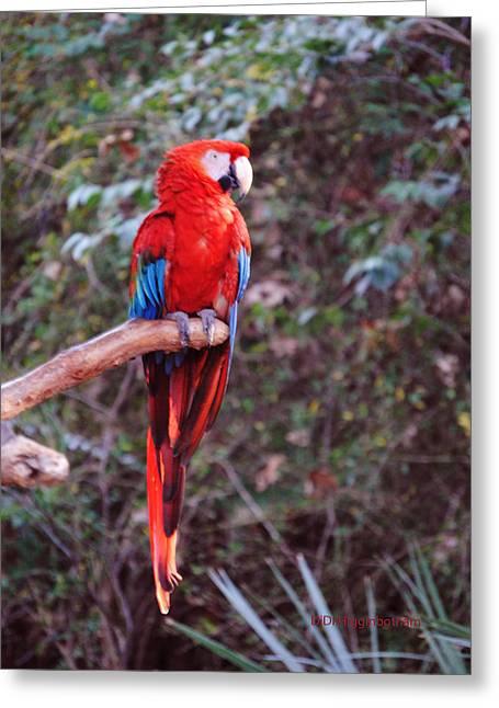 Scarlet Macaw Greeting Card by DiDi Higginbotham