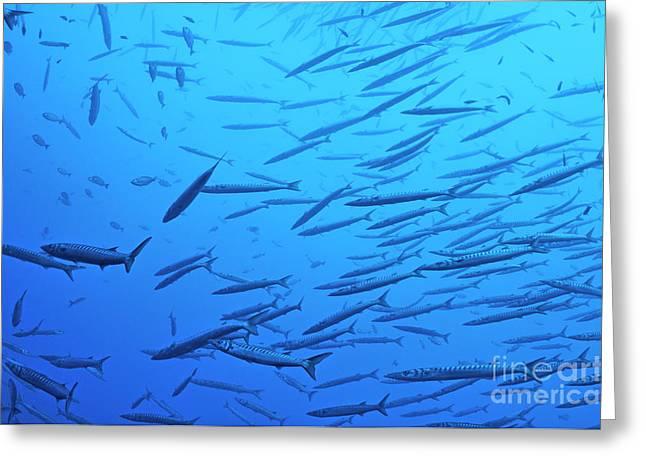 School Of Barracudas In Mediterranean Sea Greeting Card by Sami Sarkis