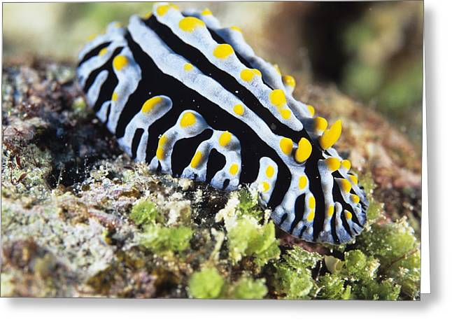 Scrambled Egg Nudibranch Greeting Card by Alexis Rosenfeld