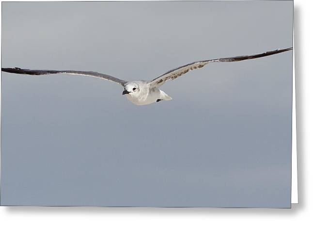 Sea Gull In Flight Greeting Card by Mike Rivera