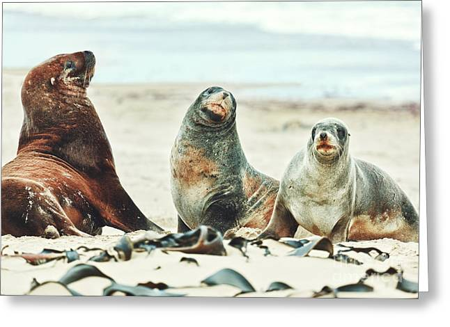 Sea Lions Greeting Card by MotHaiBaPhoto Prints