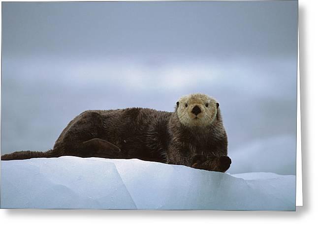 Sea Otter Enhydra Lutris Male Hauled Greeting Card