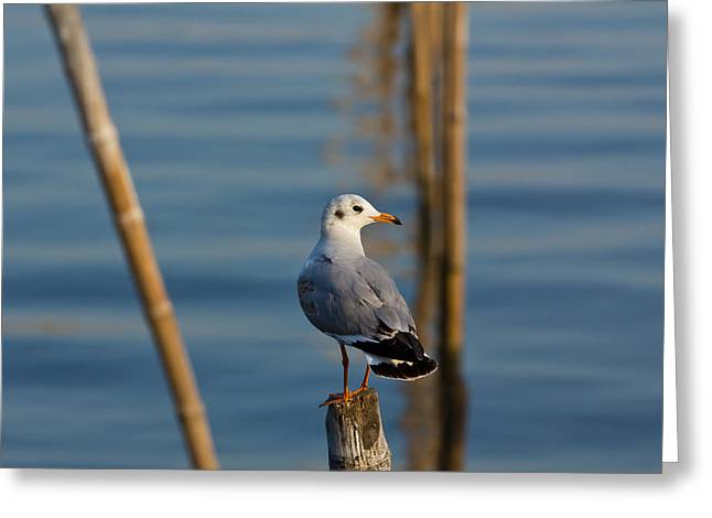 Seagull Greeting Card by Amornthep Chotchuang