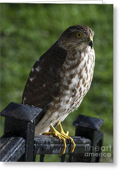 Sharp-shinned Hawk Greeting Card by TommyJohn PhotoImagery LLC