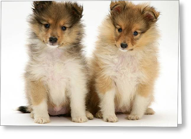 Sheltie Puppies Greeting Card by Jane Burton