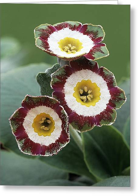 Show Auricula 'astolat' Flowers Greeting Card by Archie Young