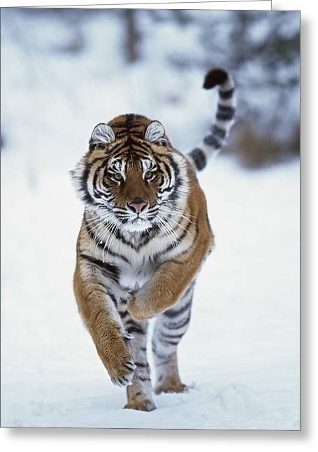 Siberian Tiger Panthera Tigris Altaica Greeting Card