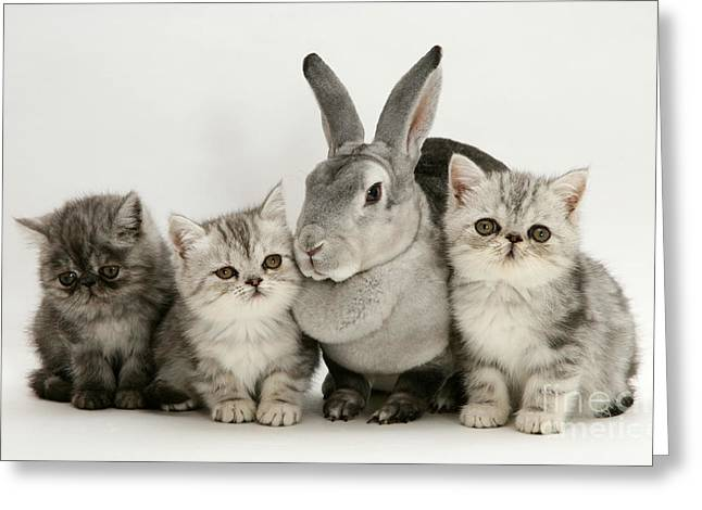 Silver Exotic Kittens And Silver Rex Greeting Card