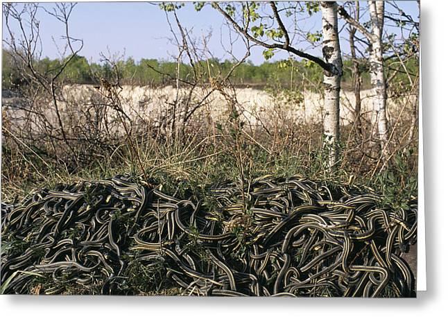 Snakes Mating Greeting Card by Alan Sirulnikoff