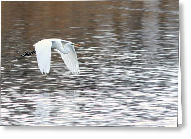 Greeting Card featuring the photograph Snowy Egret Flight by Mark J Seefeldt