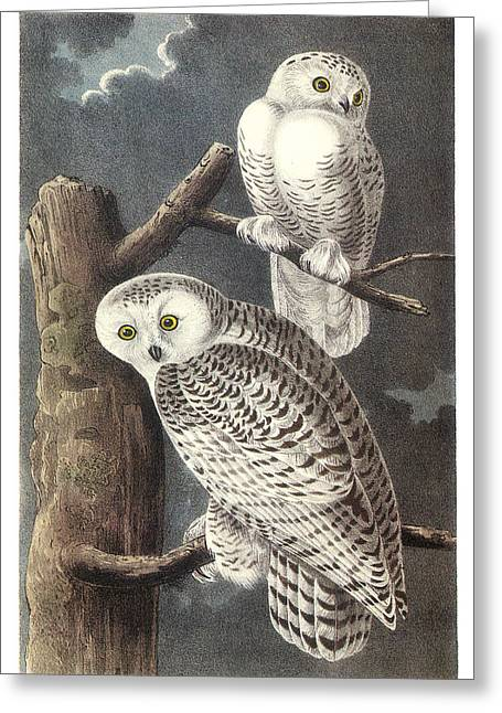 Snowy Owl Greeting Card by John James Audubon