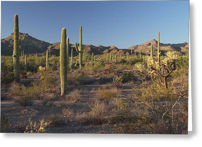 Sonoran Desert Scene With Saguaro Greeting Card by George Grall
