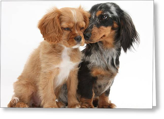 Spaniel & Dachshund Puppies Greeting Card by Mark Taylor