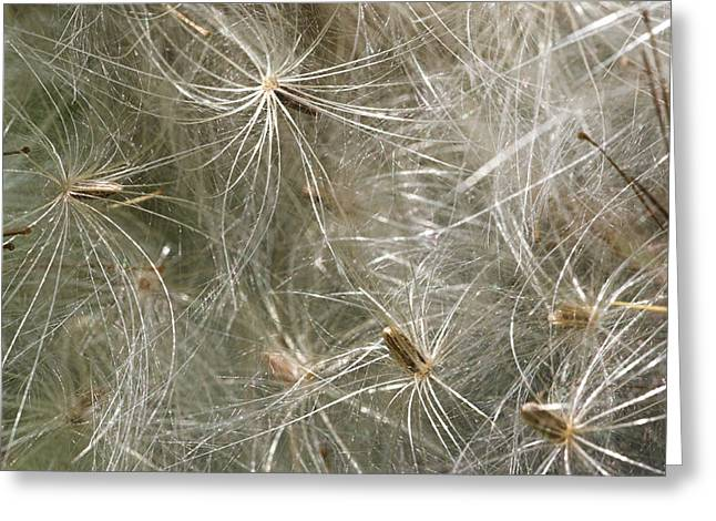 Spear Thistle Seeds (cirsium Vulgare) Greeting Card