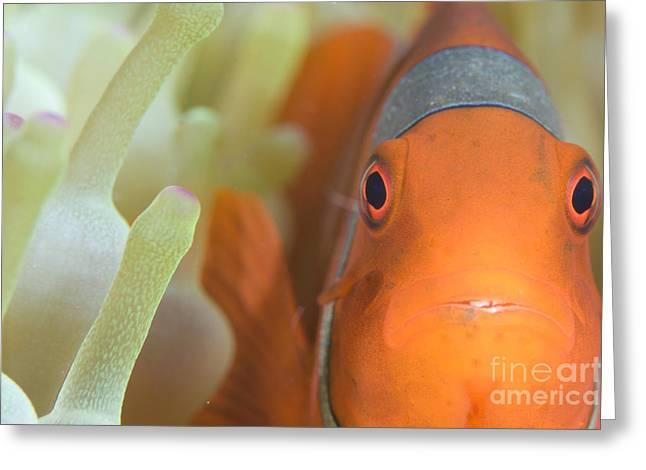 Spinecheek Anemonefish In Anemone Greeting Card by Steve Jones