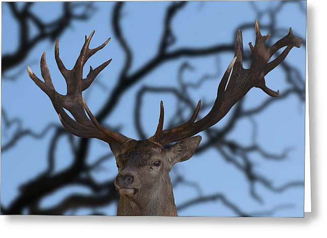 Stag Ramifications Greeting Card by Michael Mogensen
