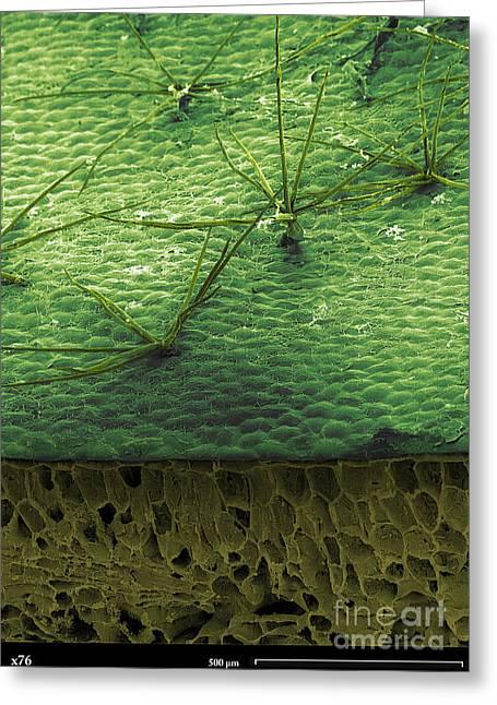 Staghorn Fern, Sem Greeting Card by Ted Kinsman