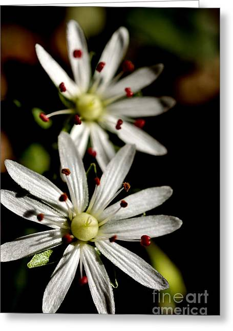 Star Chickweed Greeting Card by Thomas R Fletcher