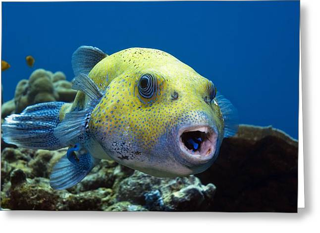 Star Pufferfish And Cleaner Wrasse Greeting Card