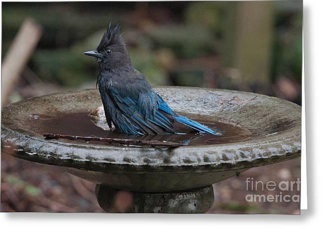 Stellar Jay In The Birdbath Greeting Card by Carol Ailles