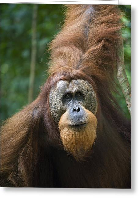 Sumatran Orangutan Male Gunung Leuser Greeting Card