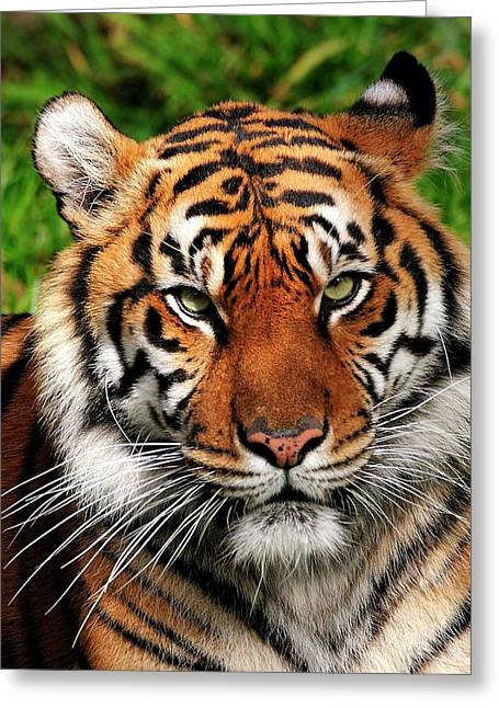 Sumatran Tiger Portrait Greeting Card