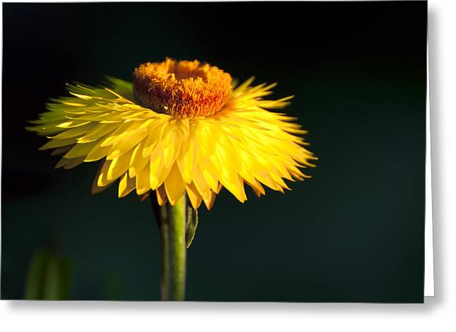 Sunset Daisy Greeting Card by Vicki Jauron