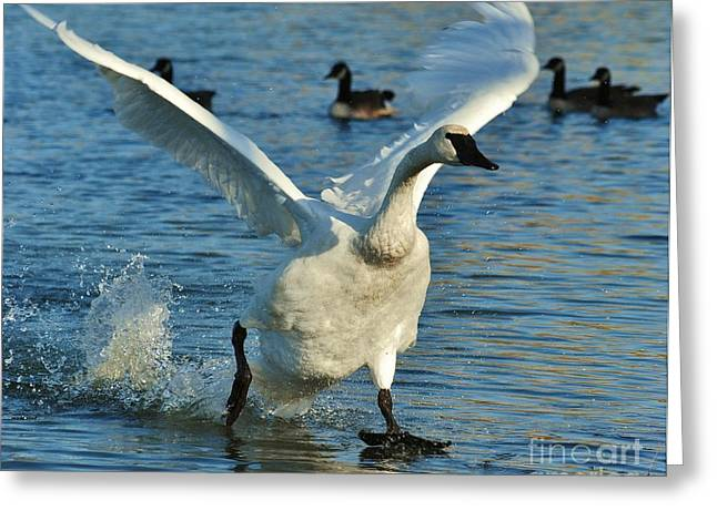 Swan Lake Greeting Card by Joy Bradley