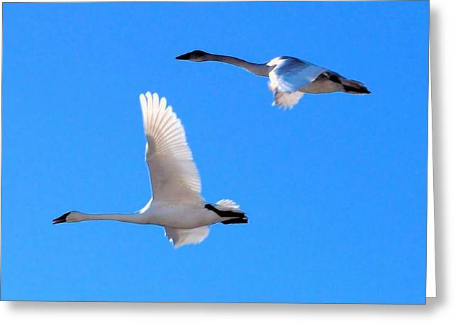 Swans On Blue Sky Greeting Card by Don Mann