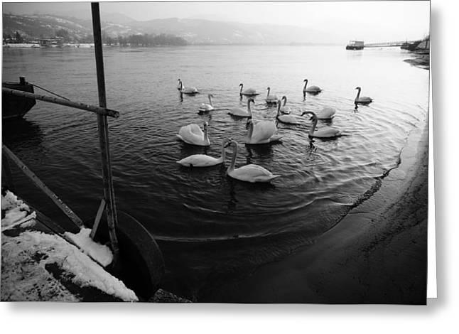 Swans On River Danube Greeting Card by Tibor Puski