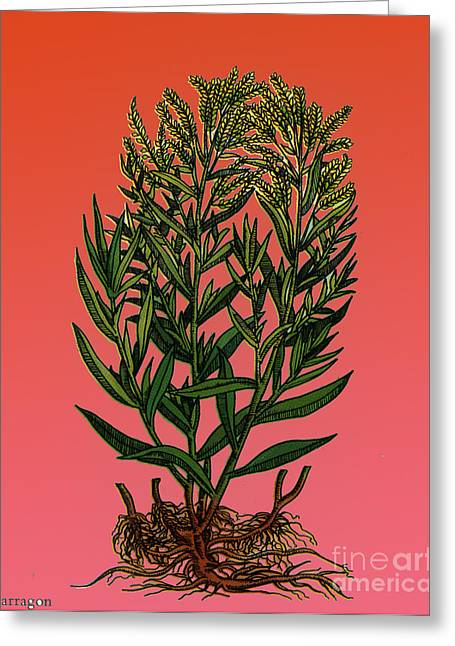 Tarragon, Perennial Herb Greeting Card by Science Source