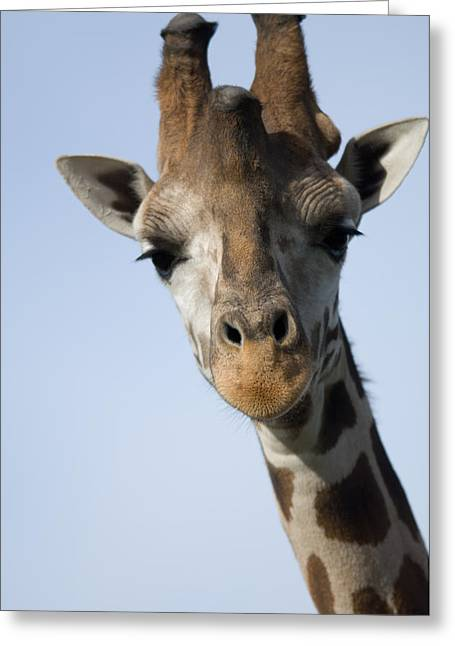 Thompsons Giraffe Giraffa Camelopardalis Greeting Card by Joel Sartore