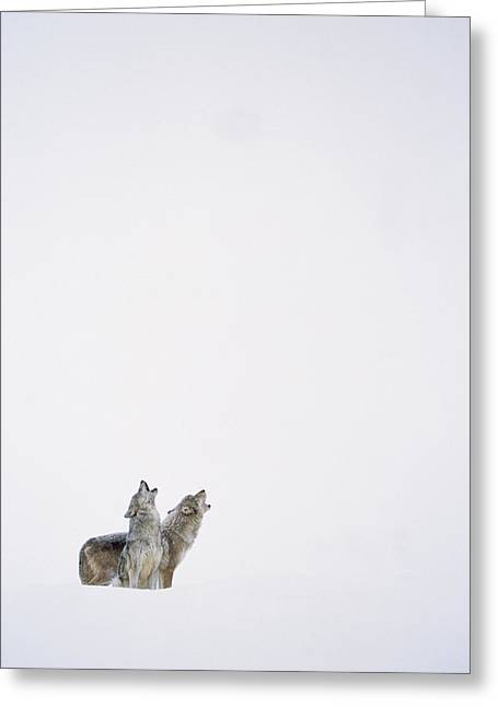 Timber Wolf Pair Howling In Snow North Greeting Card