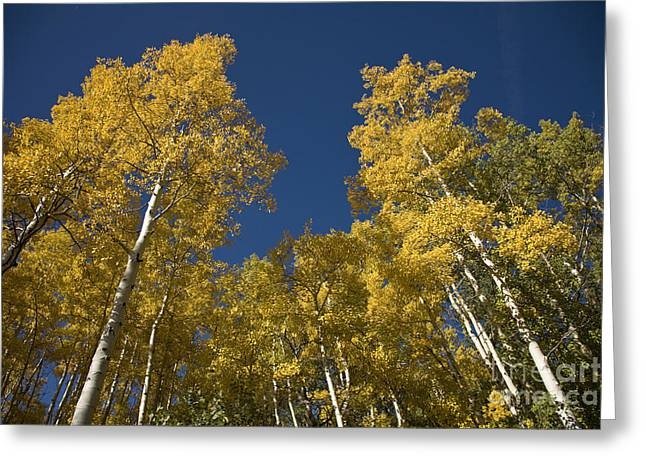 Towering Aspens Greeting Card by Timothy Johnson