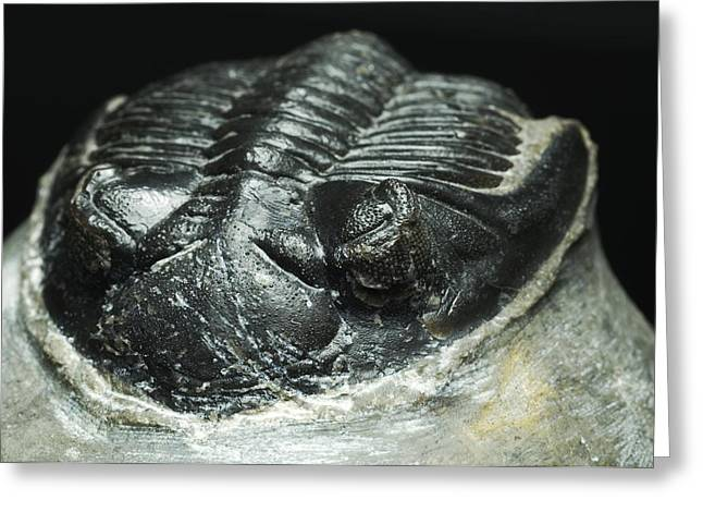 Trilobite Fossil Greeting Card by Lawrence Lawry