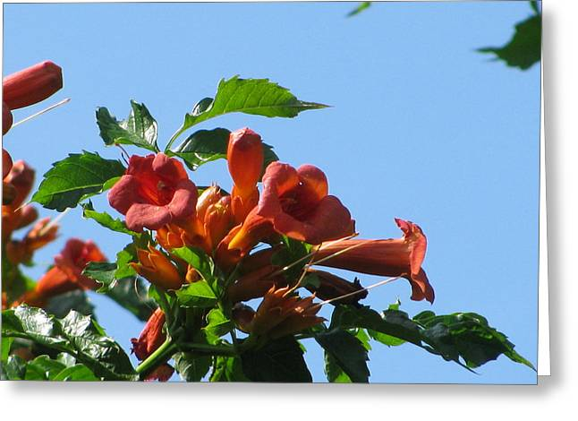 Trumpet Vine Greeting Card by Alfred Ng