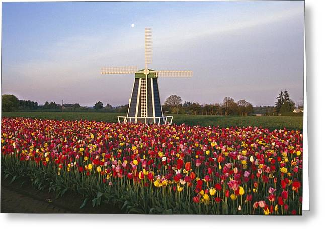 Tulip Field And Windmill Greeting Card by Natural Selection Craig Tuttle