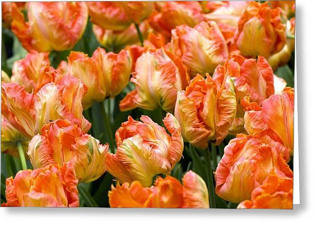 Tulips (tulipa 'professor Rontgen') Greeting Card by Adrian Thomas