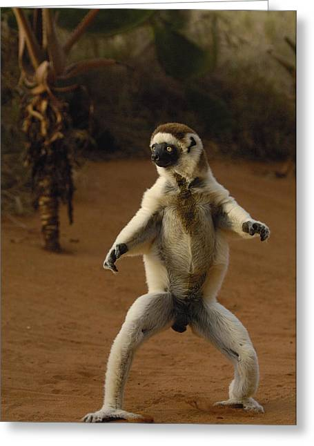 Verreauxs Sifaka Propithecus Verreauxi Greeting Card by Pete Oxford