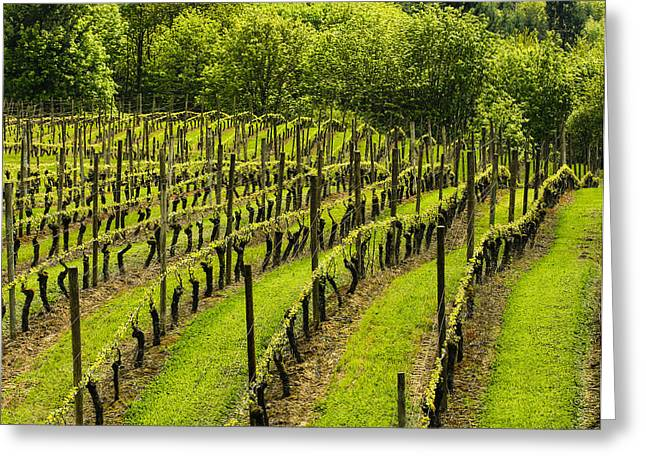 Vineyard In July Greeting Card by Jean Noren