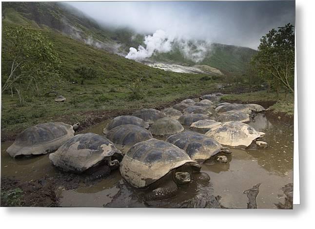 Volcan Alcedo Giant Tortoise Geochelone Greeting Card by Pete Oxford