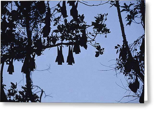 Vulnerable Spectacled Flying Fox Bats Greeting Card by Jason Edwards